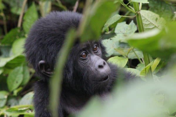 BIF Young Gorilla