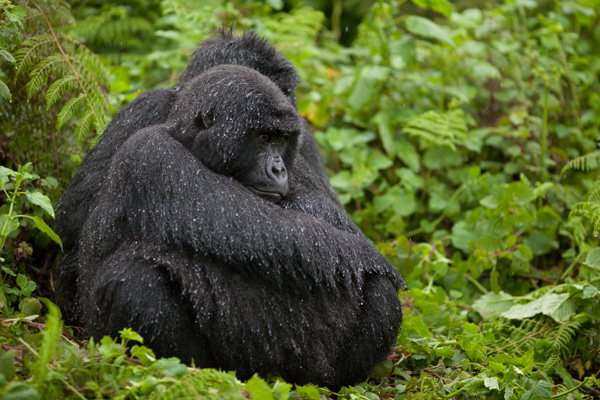 BLO Wet Gorilla Sitting