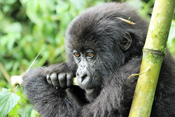 Virunga Gorilla