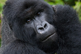 Day Virunga Safari Volcanoes Safaris Featured Gorilla