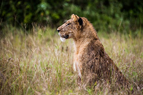 Kyambura Bwindi Volcanoes Safaris Lion