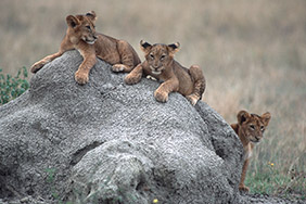 Kyambura Lion Cubs Volcanoes Safaris