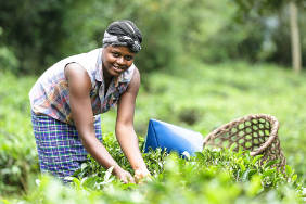 Tea Processing Bwindi