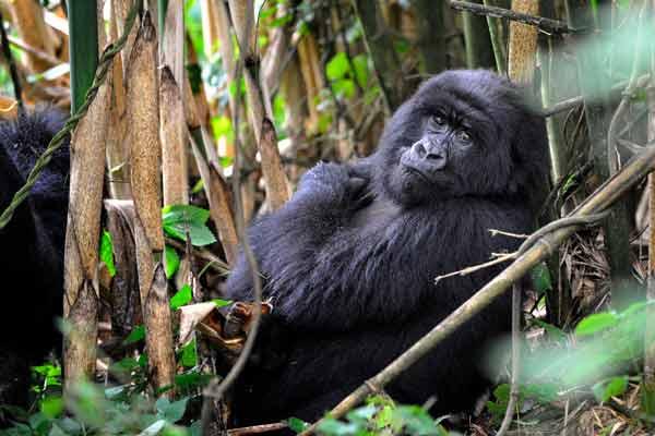 BLO Bored Gorilla