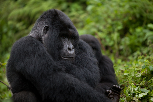 BLO Gorilla Sitting Again