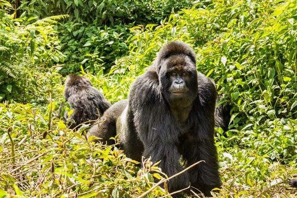 PNV Gorillas