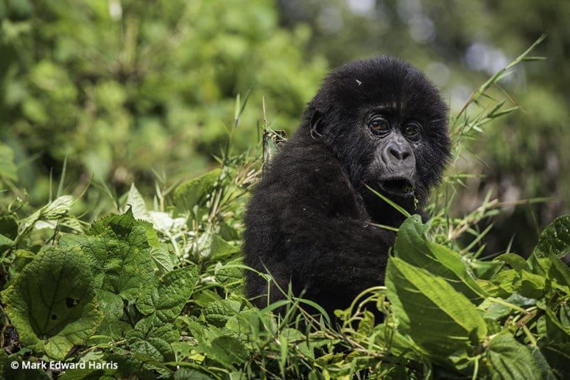 Rwanda Volcanoes National Park Baby Gorilla