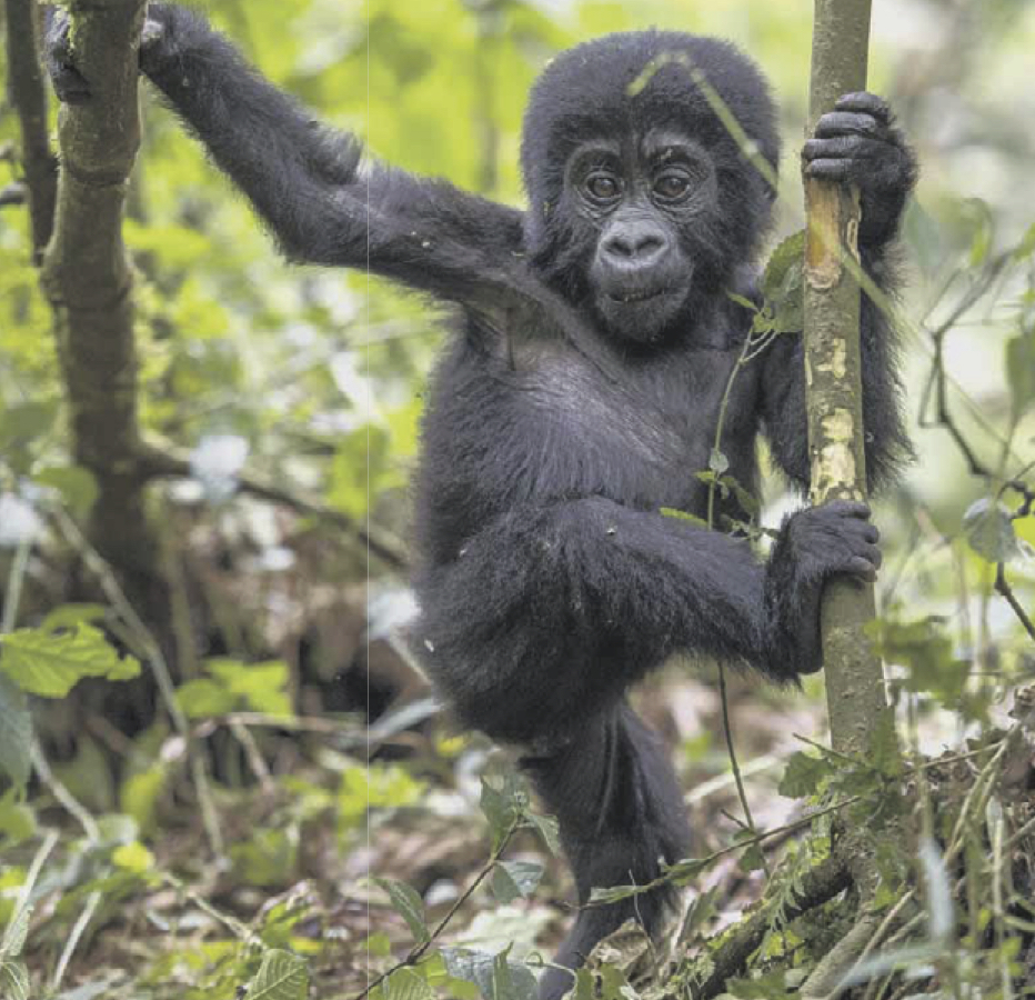 Magazine Image Gorilla Baby