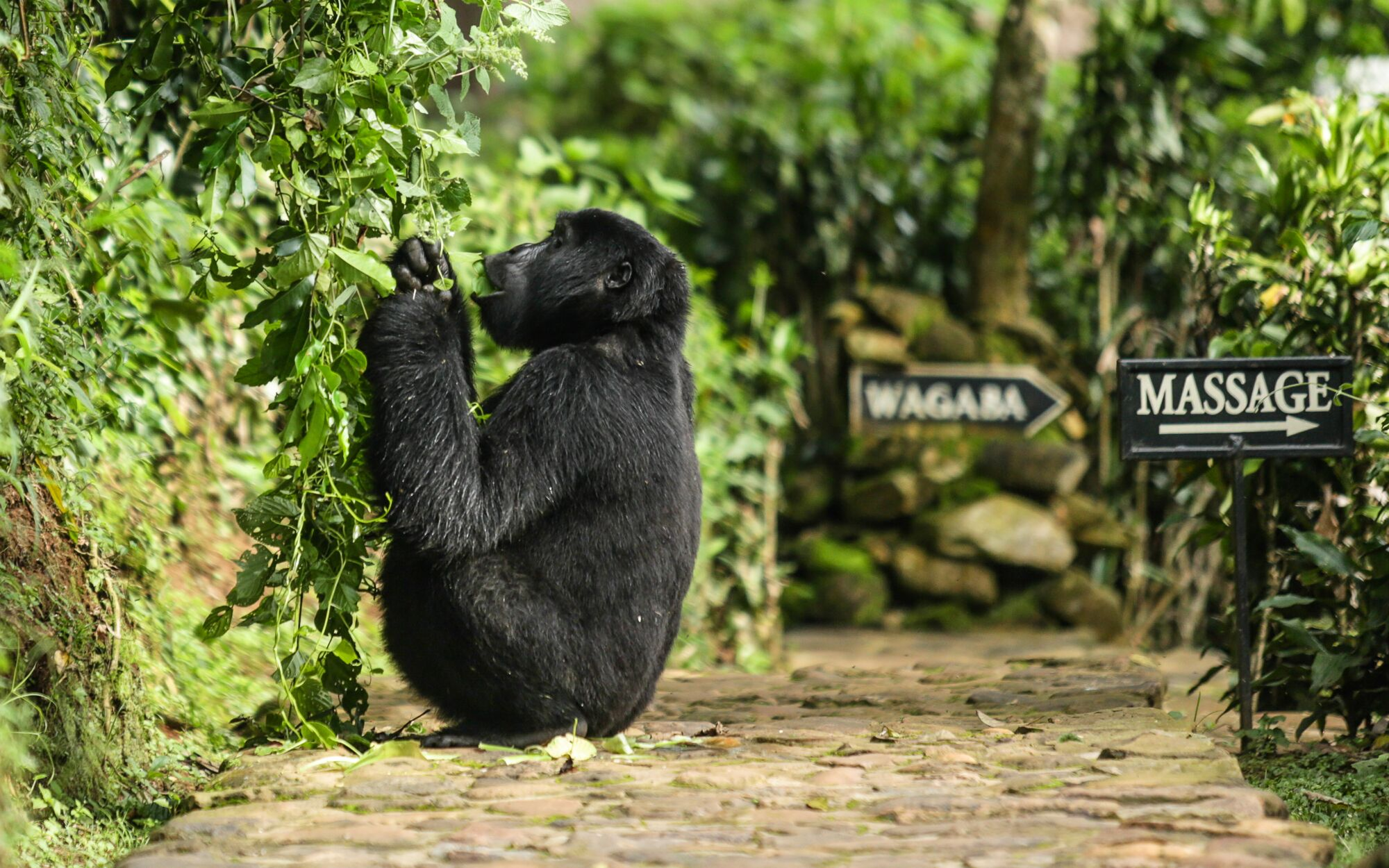 Bwindi Gorilla at the Lodge