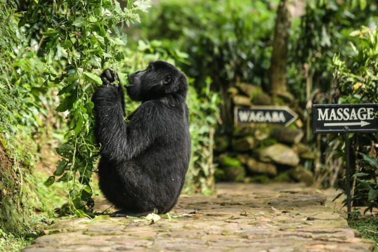 Volcanoes Safaris Bwindi Lodge Gorilla
