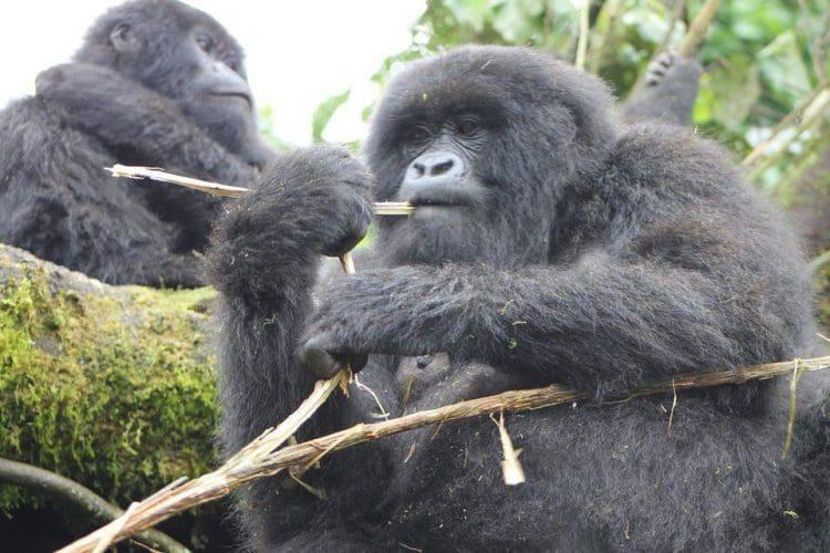 Volcanoes Safaris Gorilla Trekking