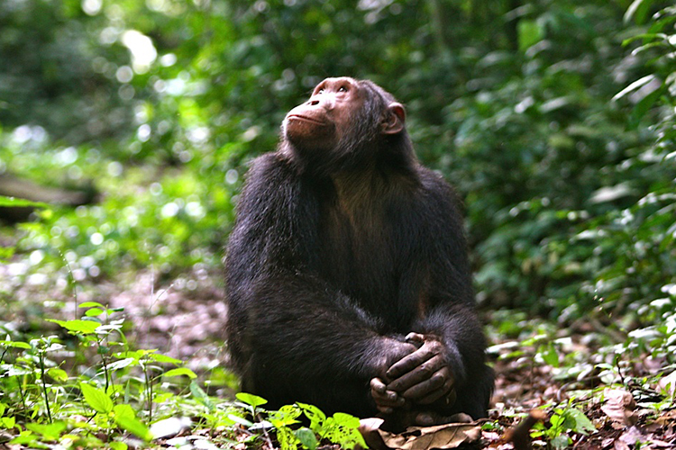 Volcanoes Safaris Kyambura Chimpanzee