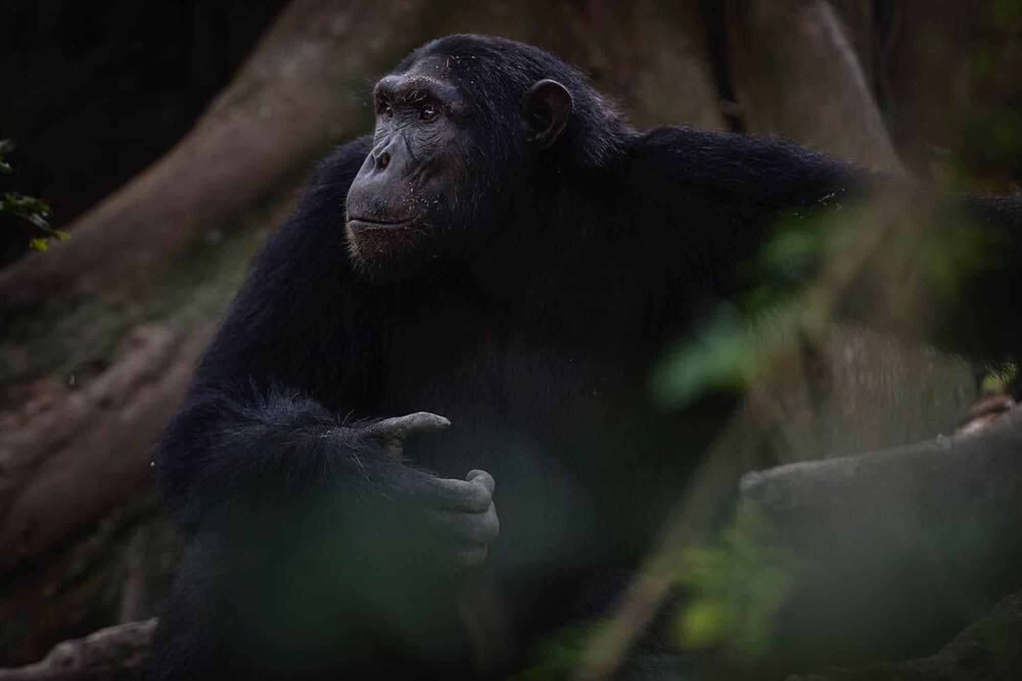 chimp-trekking