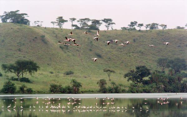 kyambura flamingos